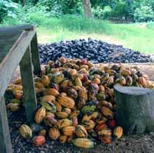cocoa de-husking