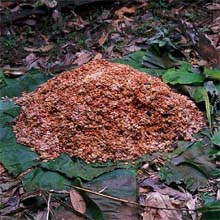 a cocoa fermentation heap