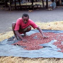 sun drying cocoa
